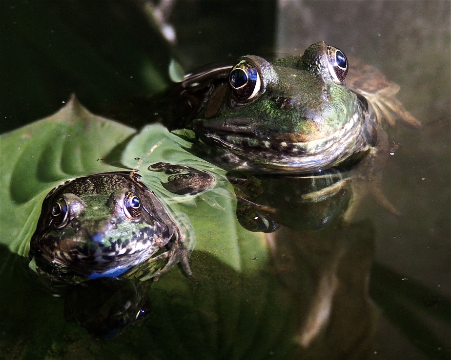 Green frog Lithobates clamitans