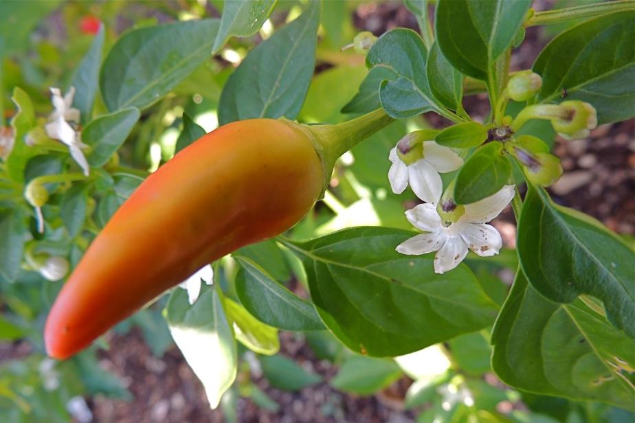 Chili pepper ans flower