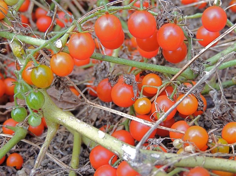 Sweet Pea tomatoes