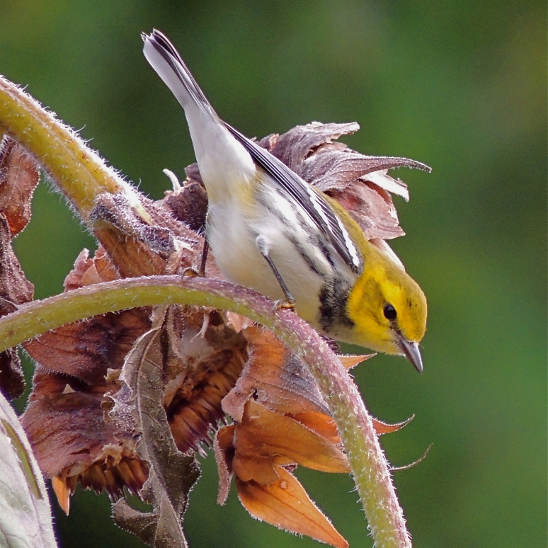 Warbler on sunflower seed head