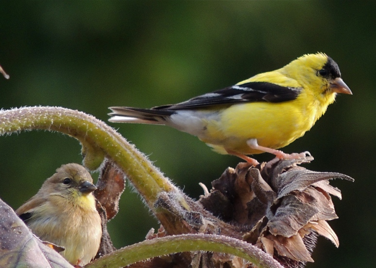 male and female American Gold finch bird on sunflower seed head