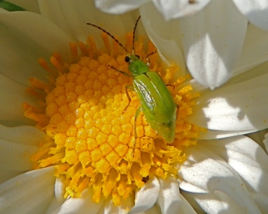 Beetle on Daisy mum