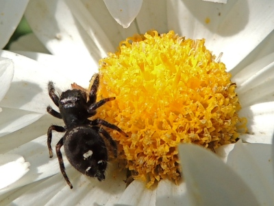 Jumping Spider on Daisy mum