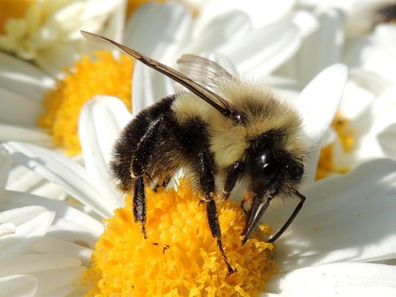 Mining  bee on Daisy mum