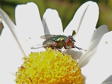 Green Fly on Daisy mum