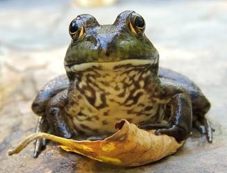 Green frog 2014