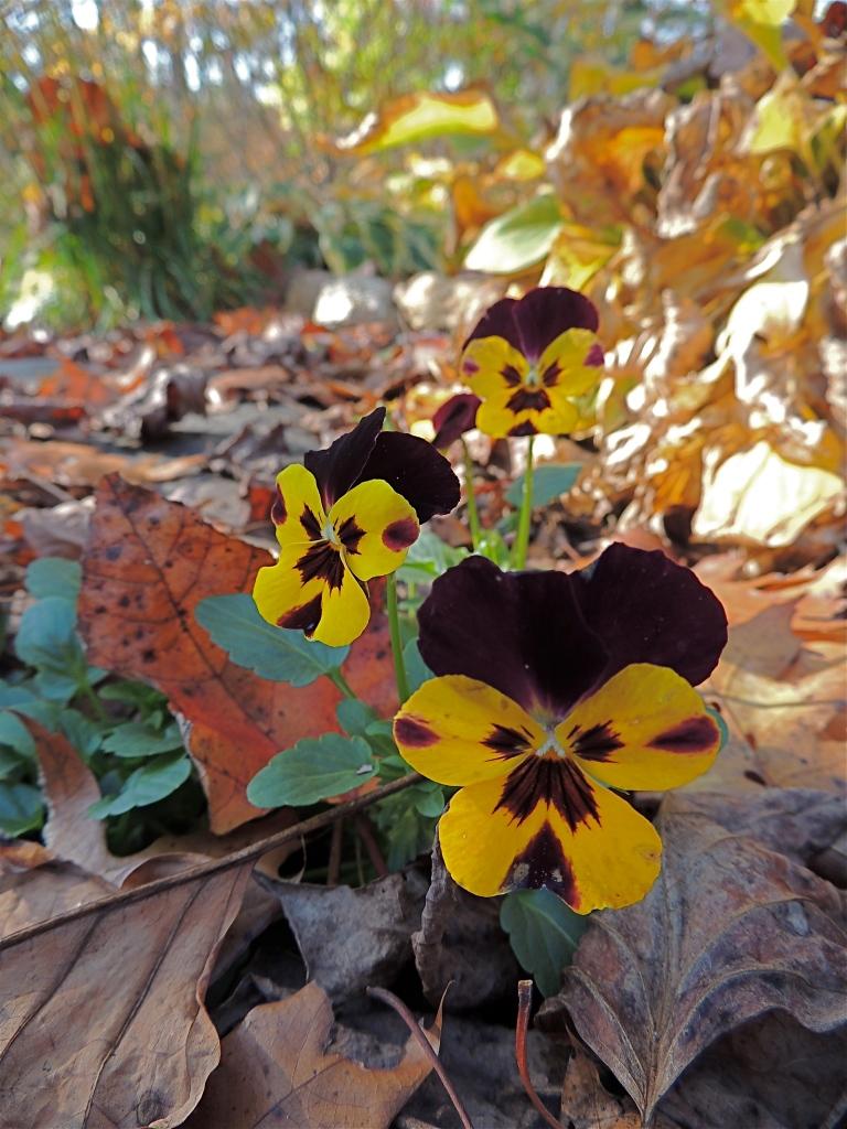 Self-seeded violas in the lower gardens