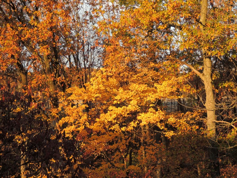 Oak and Maple trees behing our home