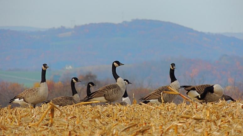 Canada geese feeding on corn kernnels
