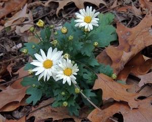 Self-seeded Daisy mum