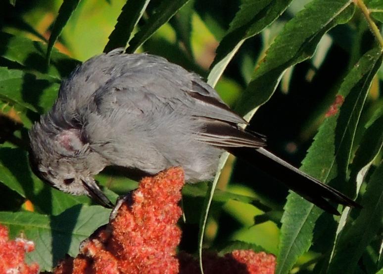 Titmouse bird on sumac