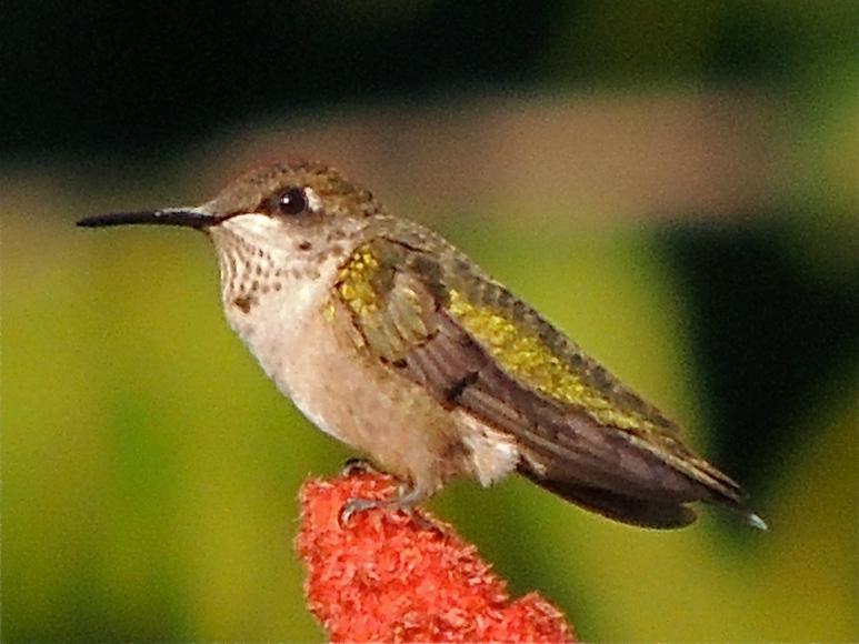 Ruby-throated Hummingbird on sumac