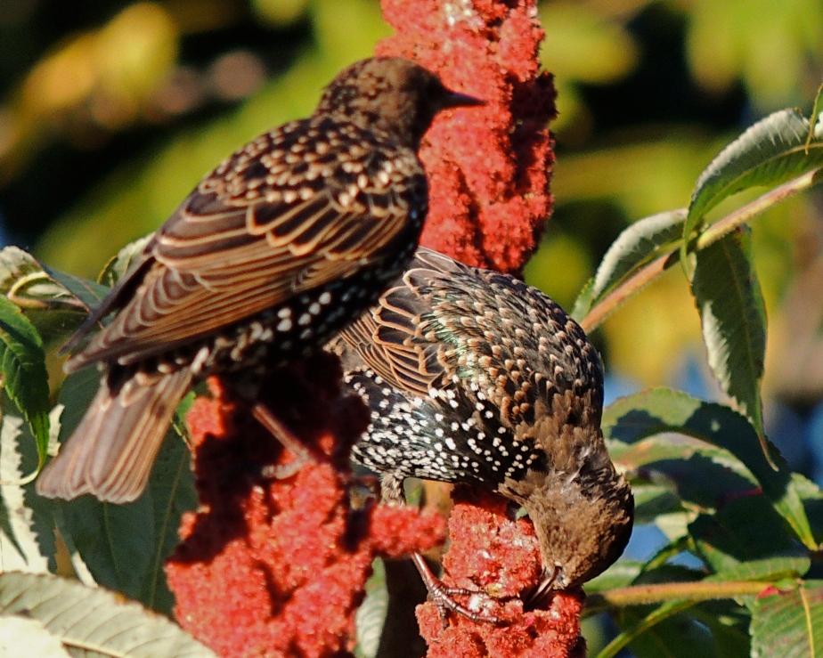 American Starlings on sumac