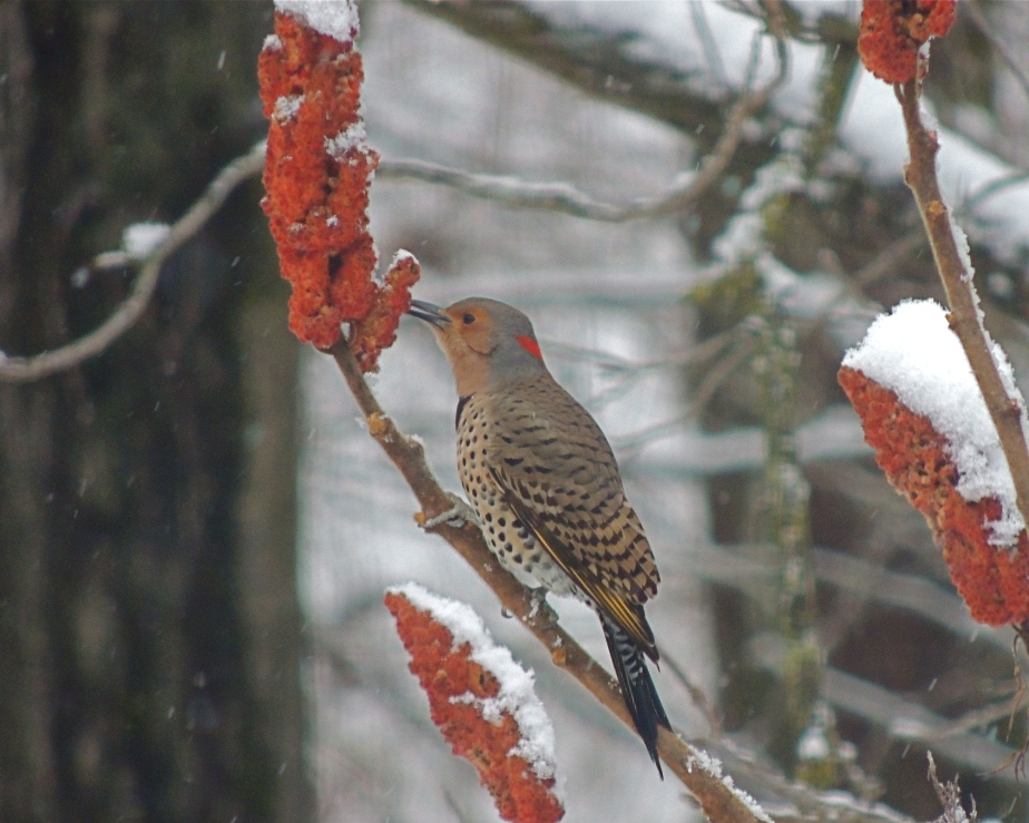 Flicker feeding on sumac