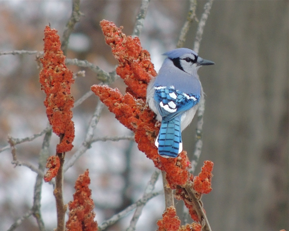 Blue Jay  bird on sumac