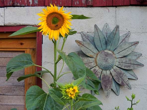 Self-seeded sunflowers