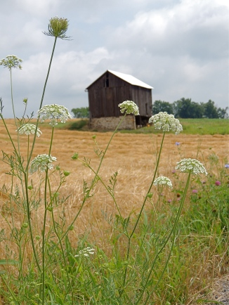 Queen's Anne Lace and old barn