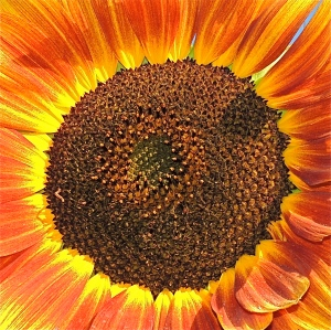 sunset sunflower