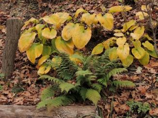 hosta in autumn