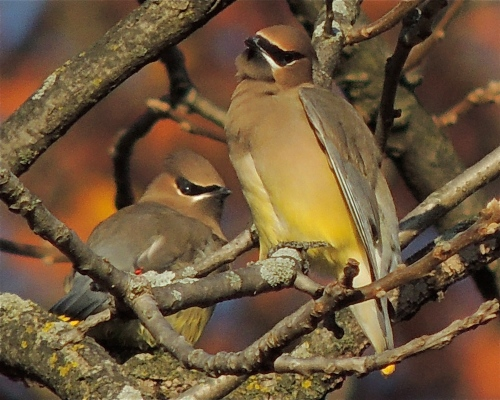 Cedar Waxwings in Black Walnut tree, woodland gardens at Valley View