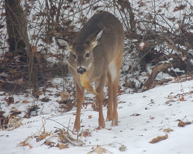 Whitetail deer eating hosta leaf