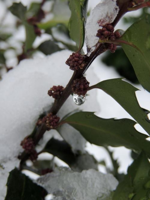 Holly cultivar