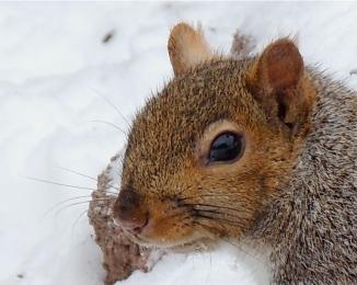 Eastern American Grey Squirrel
