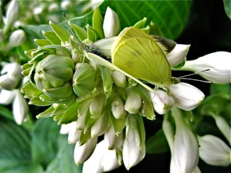 Cabbage butterflies on hosta flower