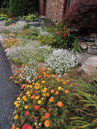 Alyssum and Portulaca in front roack garden near road