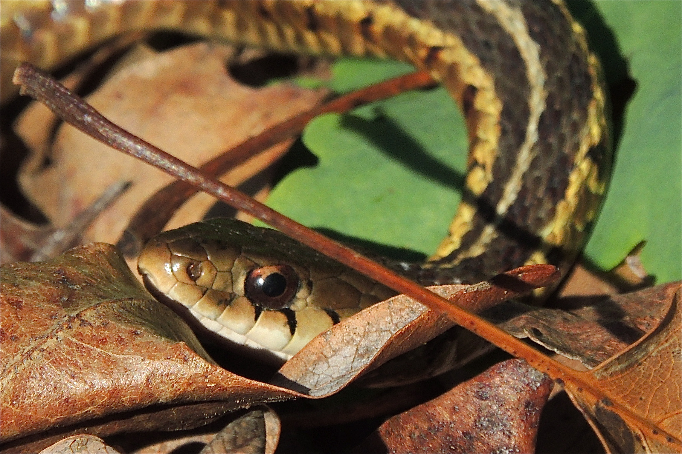 Eastern Garter Snake – The Iris and the Lily