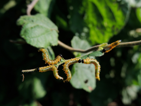 Silver-spotted Skipper Caterpillars on Harry Lauder Walking Stick