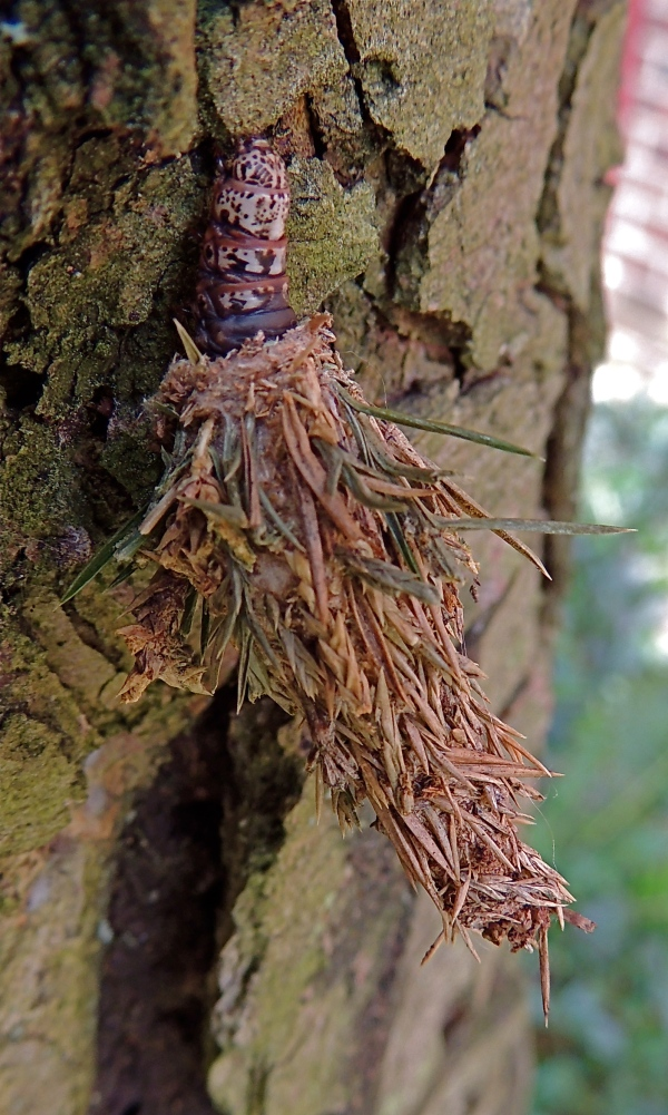 Evergreen Bagworm moth caterpillar