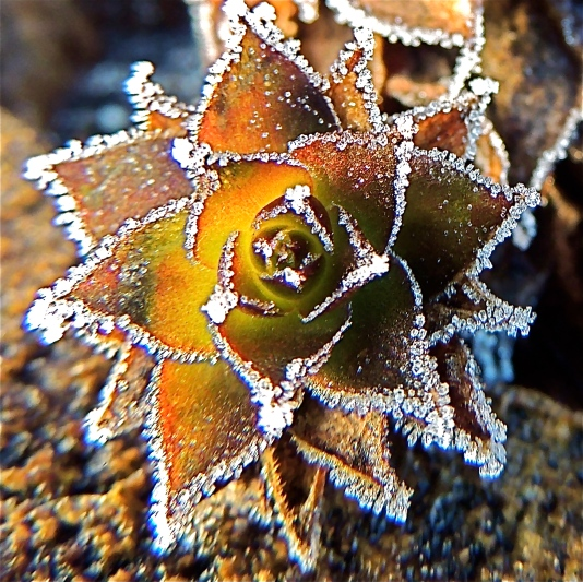 Ice crystals on Hen and Chicks