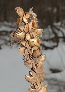 Turtle Cap seed pod