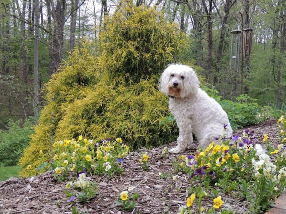 Maddie sitting in a bed of self-seeded Ice Pansies