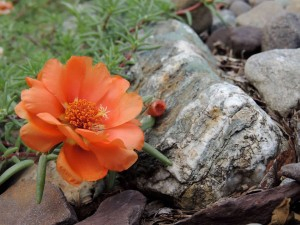 Orange Portulaca flower growing admist rocks in roadside garden