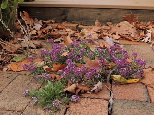 Purple Alyssum self-seeded in brick walkway
