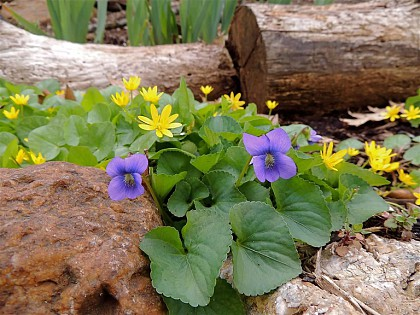 Violets and Marsh Marigolds that jumped their woodland bed
