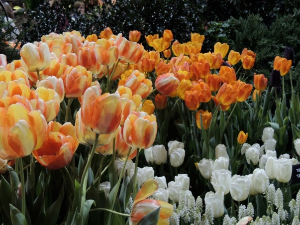 Tulips in an English park - Marry Poppins
