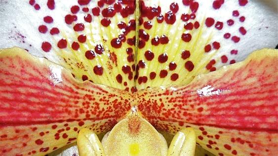 Terrestrial Orchid