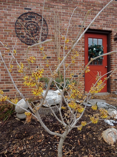 Witch Hazel shrub