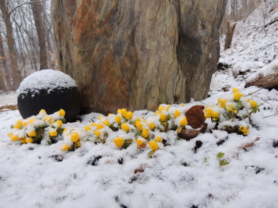 The standing stone and Winter Aconite flowers