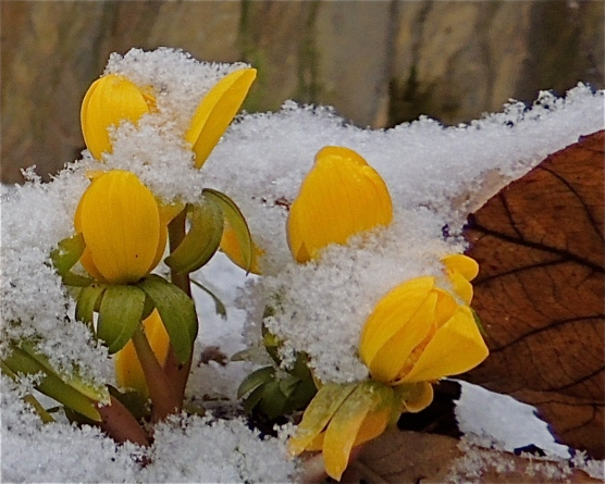Winter Aconite flowers in the snow