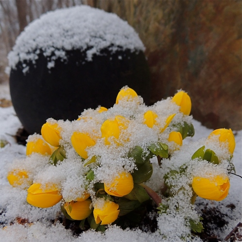 Bowling Ball Standing stone and Winter Aconite flowers in the snow
