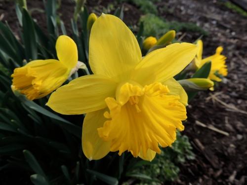 Trumpet daffodil flower