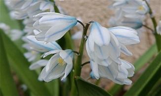 Puschkinia scilloides var. libanotica striped squill flower