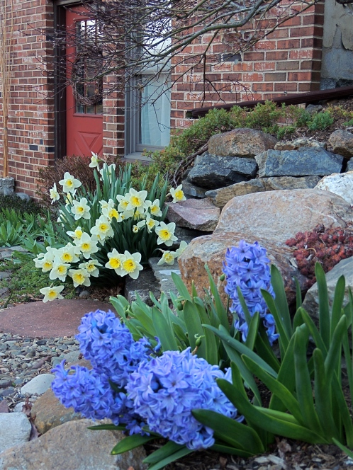 Daffodil and Hyacinth flowers in front garden