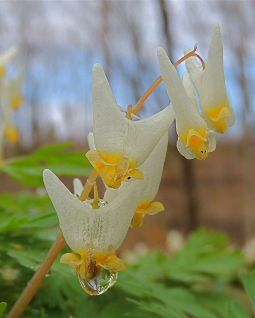 Dutchman's Breeches after the rain