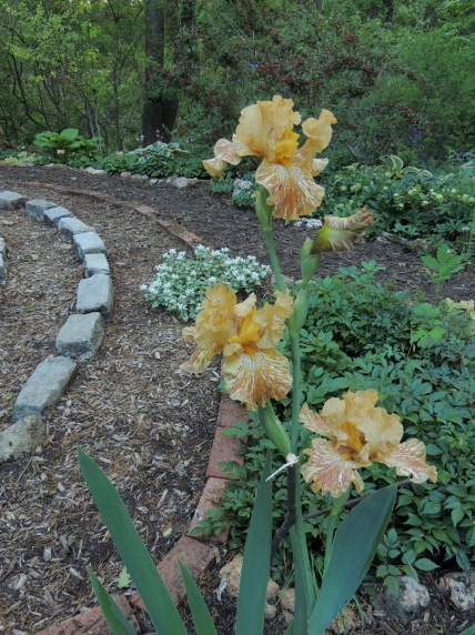 Bearded Iris by the labyrinth in the lower garden