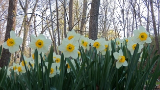 Late blooming daffodils in lower garden